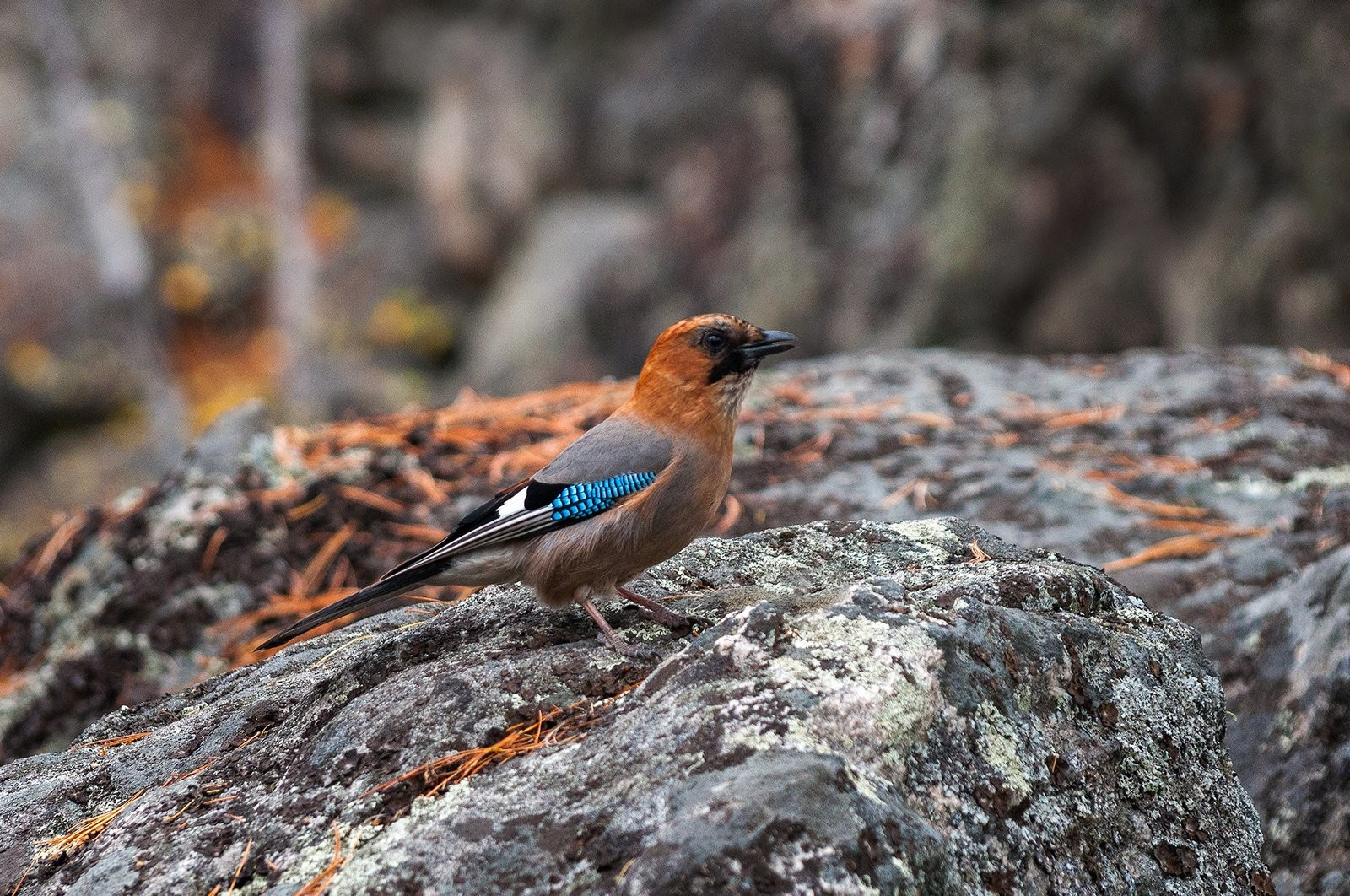A walk along the plateau may stay in your memory not only because of the rocks, but also due to its amazing fauna. This photo depicts a jay having rest on one of the ancient stones. © Photo credit: Alexey Bayfa