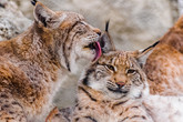 Siberian lynx and its habits