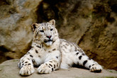 Gorgeous Snow Leopards