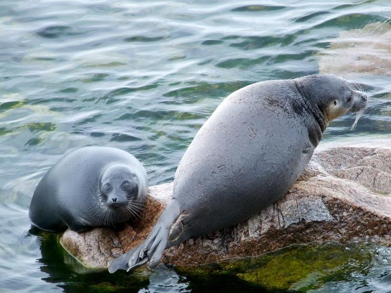 "An Expert Opinion: ""The Mass Death of Ringed Seals is Caused by the Excessive Care of People"""